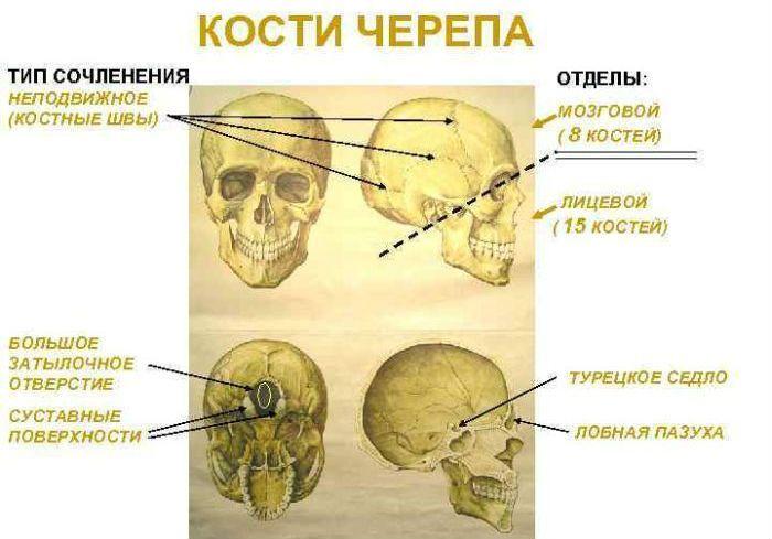 Отделы черепа фото