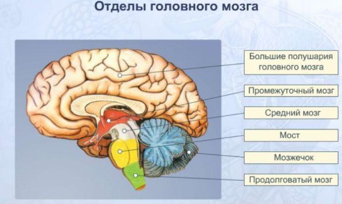 Отделы мозга фото