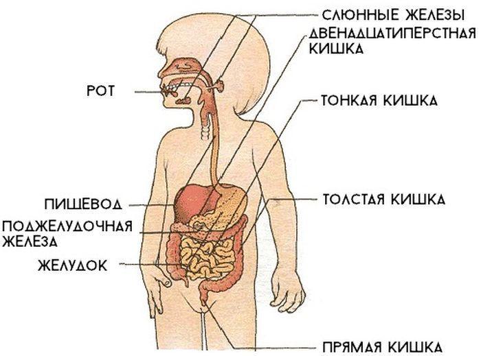 Органы пищеварения у детей фото