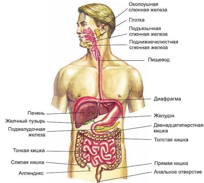 Пищеварительная система фото