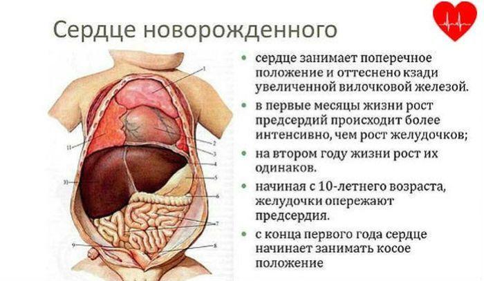 Сердце ребенка фото