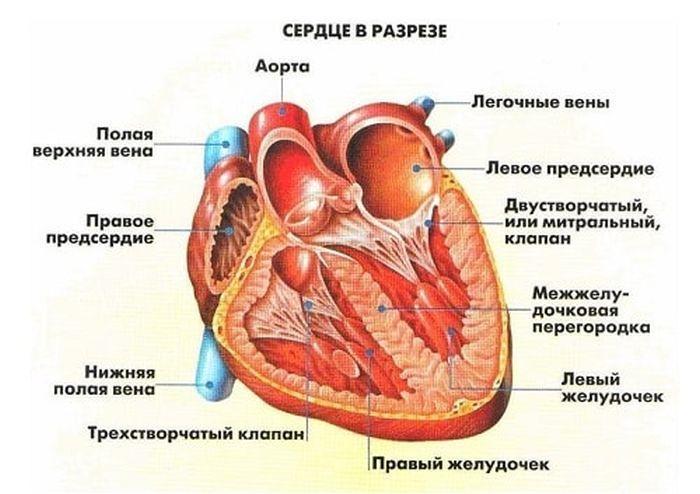 Строение сердца фото