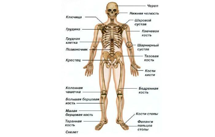 Скелет человека фото