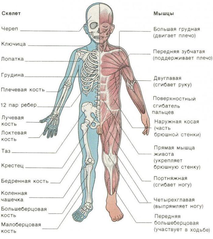 Скелет и мышцы ребенка фото