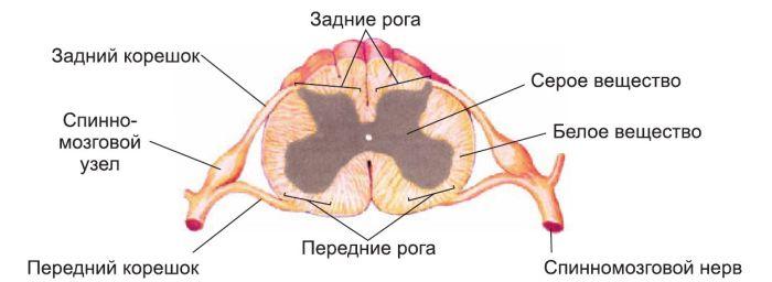 Спинной мозг в разрезе фото