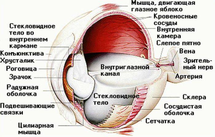 Внутреннее строение глаза фото