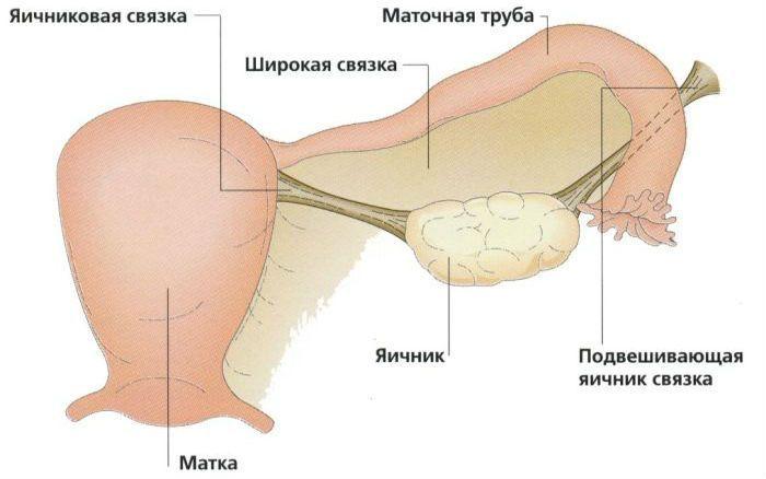 Яичник фото