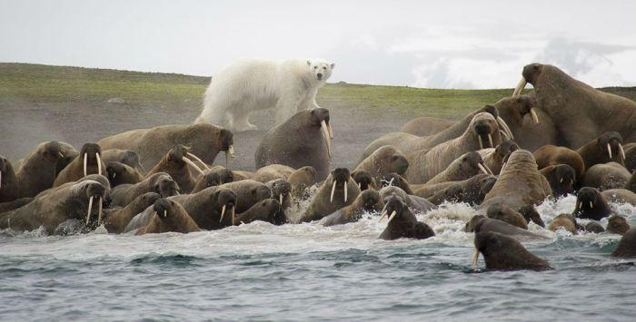 Белые медведи и моржи фото