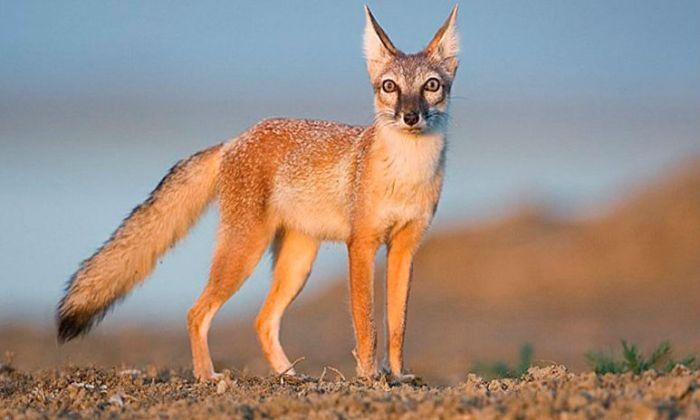 Степная лисица фото