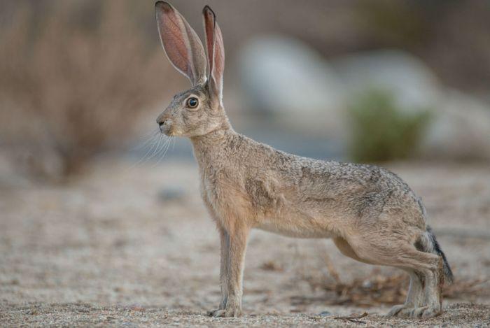 Заяц-песчаник фото