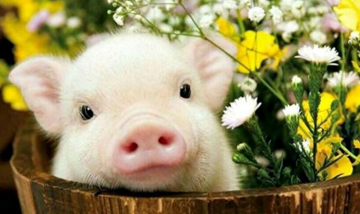Символ года Свинья фото