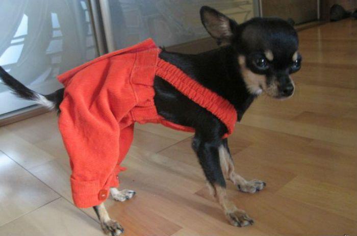щенок в штанах фото