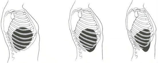 Анатомическое положение печени боковой вид фото