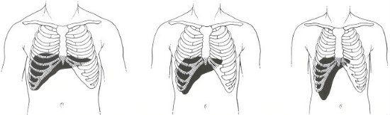 Анатомическое положение печени фронтальный вид фото