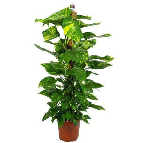 Цветок Эпипремнум