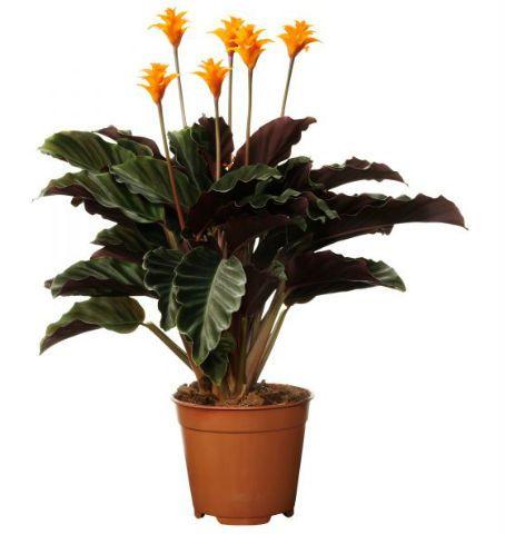 Цветок Калатея Кроката