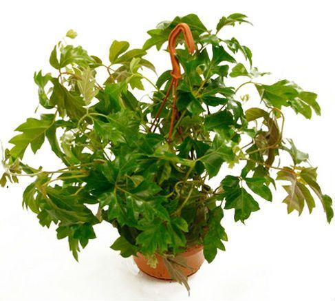 Цветок Роициссус ромбический