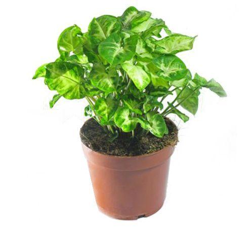 Цветок Зеленолистный сингониум