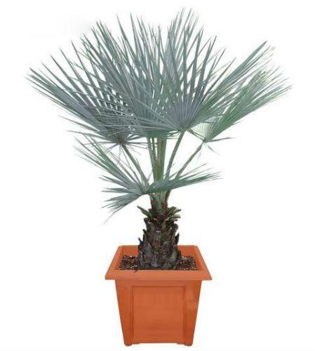 Пальма комнатная Брахея
