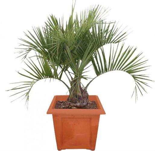 Пальма комнатная Бутия