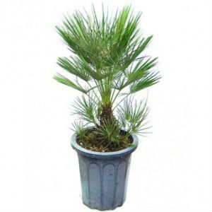 Пальма Ропалостилис