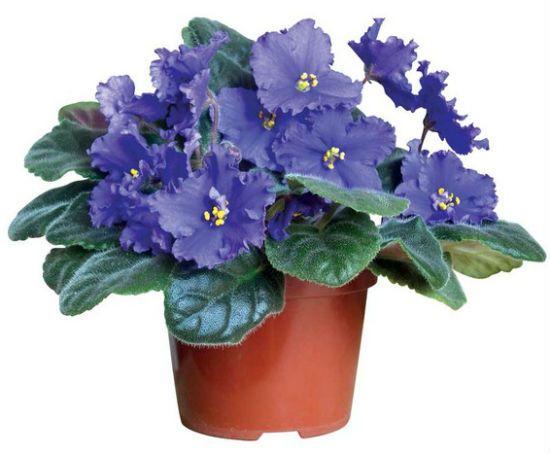 Цветок Сенполия
