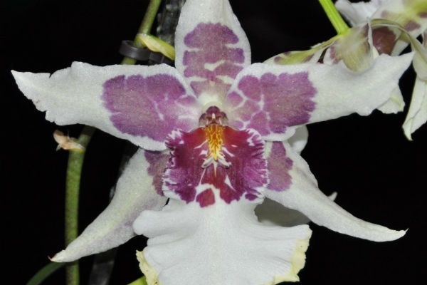 Орхидея Беаллара фото