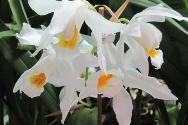 Орхидея Целогина фото