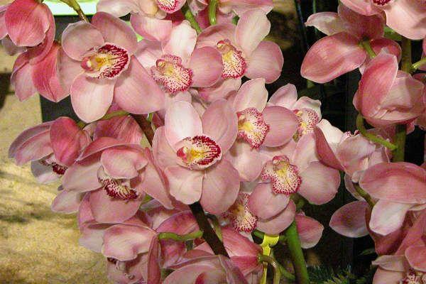 Орхидея Цимбидиум (классическая) фото