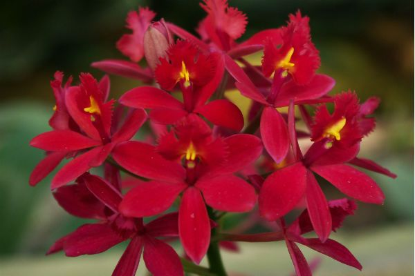 Орхидея Эпидендрум фото