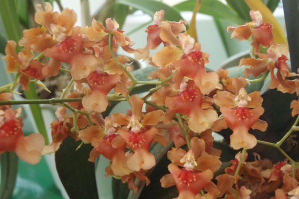 Орхидея Онцидиум фото