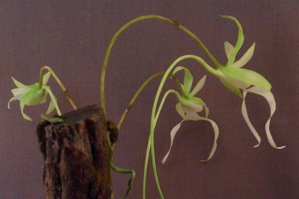 Орхидея Призрак. Полириза фото