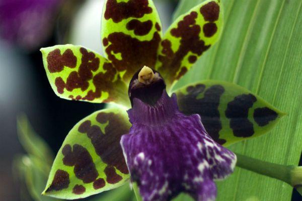 Орхидея Зигопеталум фото