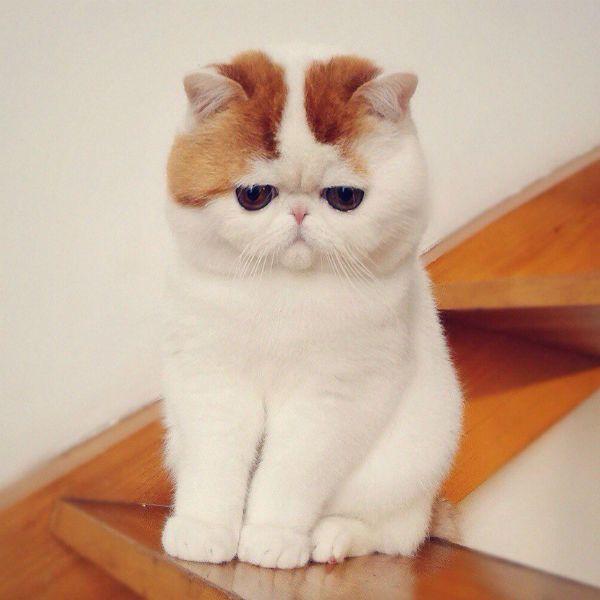 Экзотическая кошка фото