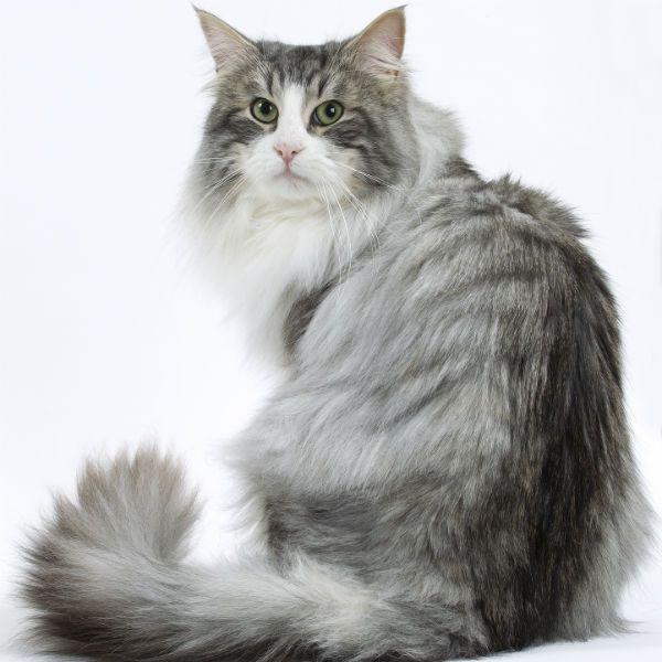 Норвежская кошка фото