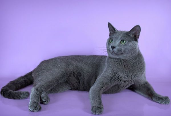Русская голубая кошка фото