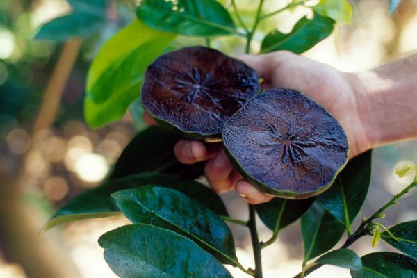 Черный сапот (Шоколадный пудинг) фото