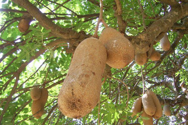 Хлебное дерево фото