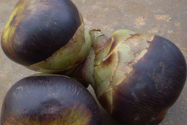 Сахарная пальма (Камбоджийская пальма) фото