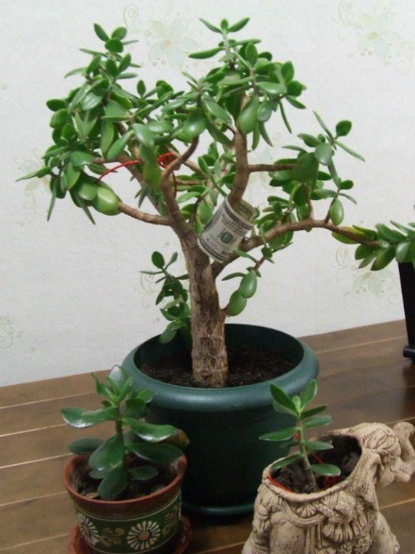 Толстянка (Денежное дерево) фото