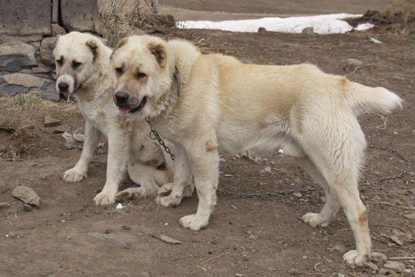 Гампр (Армянский волкодав) фото