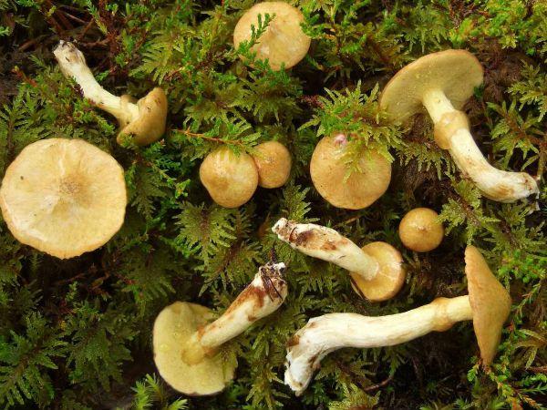 Масленок желтоватый (болотный) фото