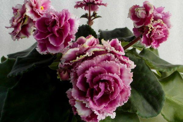 Роза ветров фото