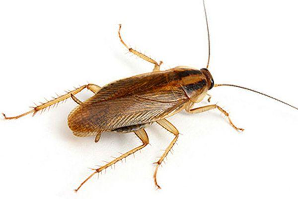 Тараканы фото