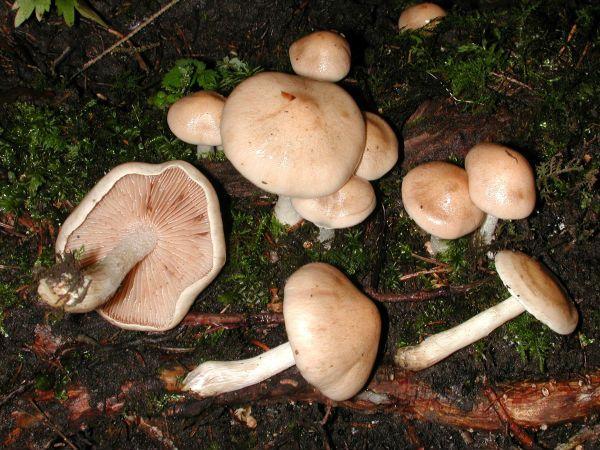 Валуй ложный (Хреновый гриб) фото