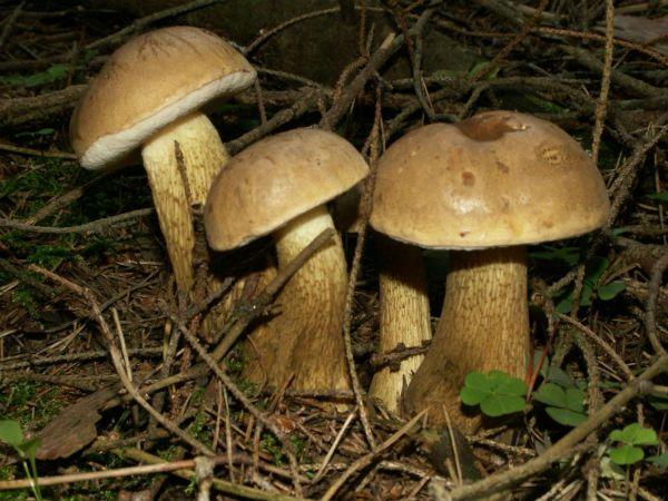 Желчный гриб фото