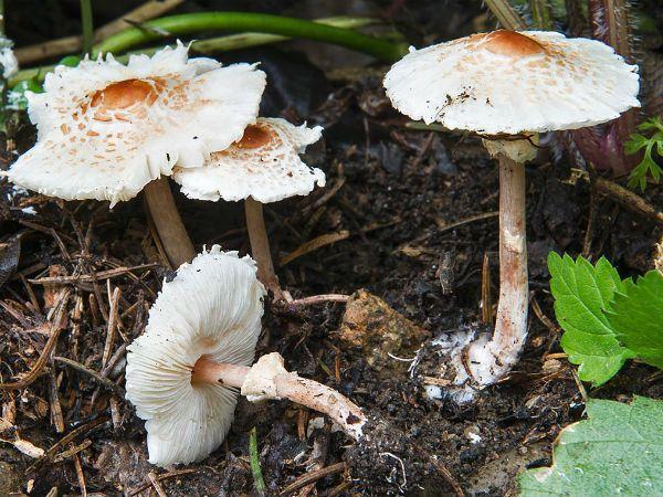 Зонтик гребенчатый (Лепиота) фото
