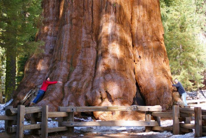 самое высокое дерево на планете